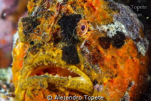 Frog Fish close up, Veracruz Mexico by Alejandro Topete 
